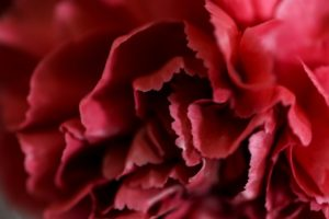 濃い赤のカーネーションの花言葉