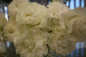 白色のカーネーションの花言葉